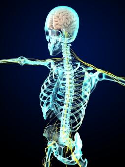 神経と人体イラスト