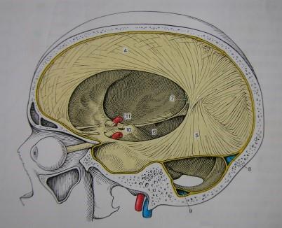 脳硬膜イラスト