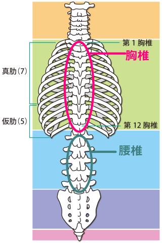 腰椎・胸椎の図