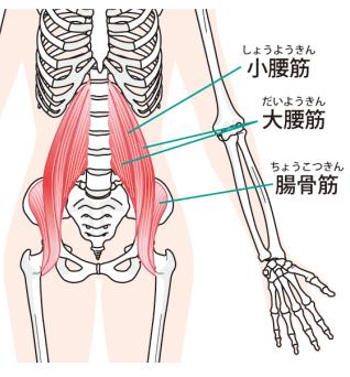 大腰筋・小腰筋・腸骨筋のイラスト