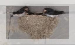 2018年ツバメ巣立ち前写真