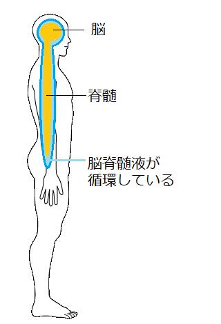 脳脊髄液イラスト
