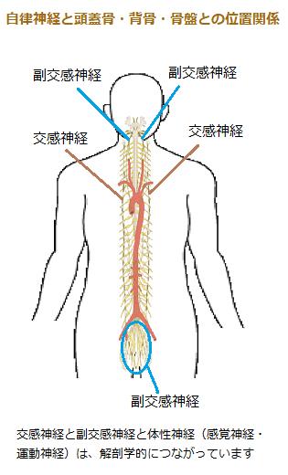自律神経の人体位置イラスト